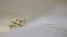 Closeup View Of Cane Toads Sit...