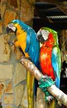 Two Macaws Resting On A Branch