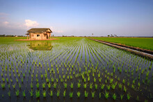 Beautiful View Of Rice Paddy F...