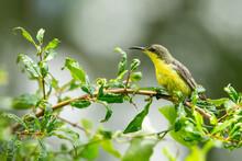 Olive-backed Sunbird  Female C...