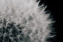 Closeup View Of A Dandelion Isolated On A Black Background