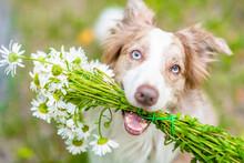 Happ Border Collie Dog Holds A...