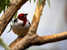 Red-cowled Cardinal, Paroaria Dominicana, A Colorful Bird With A Striking Red Head
