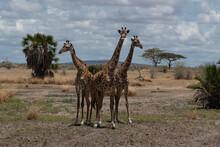 Masai Giraffe In Selous Game Reserve In Tanzania