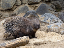 The Indian Crested Porcupine, ...