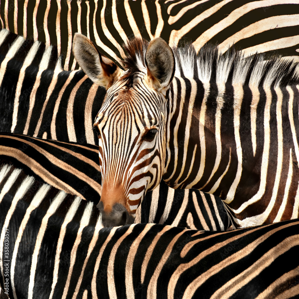 Portrait of a zebra amidst of other zebras