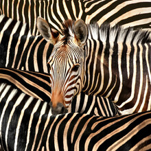 Portrait Of A Zebra Amidst Of ...