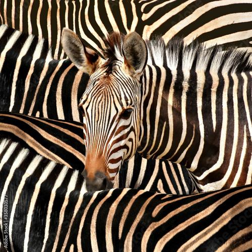 Portrait of a zebra amidst of other zebras - 358030577