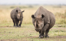 Two Black Rhino In Masai Mara ...