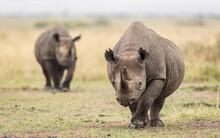 Two Black Rhino In Masai Mara ...