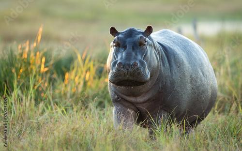 Valokuvatapetti One adult hippo out of water in Khwai Okavango Delta Botswana