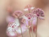 Fototapeta Kwiaty - Biało-różowe kwiaty