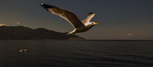 Seagull On The Fly In The Sunset