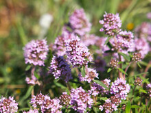 Wild Thyme Blooming, Thymus Vulgaris