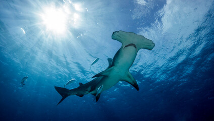 Great hammerhead shark, Mokarran, with the sun shining behind. Bimini. Bahamas
