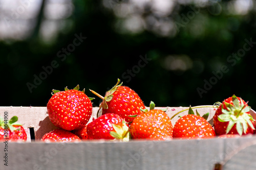 Tela Strawberry close-up. Strawberries in organic packaging.