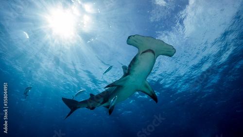 Obraz Great hammerhead shark, Mokarran, with the sun shining behind. Bimini. Bahamas - fototapety do salonu