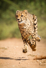 One Adult Cheetah Chase With A...