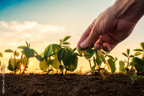 Fototapeta Soybean growth control, male hand touching soy plant obraz