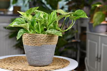 Tropical 'Epipremnum Aureum Marble Queen' Pothos House Plant With White Variegation In Natural Basket Flower Pot On Table