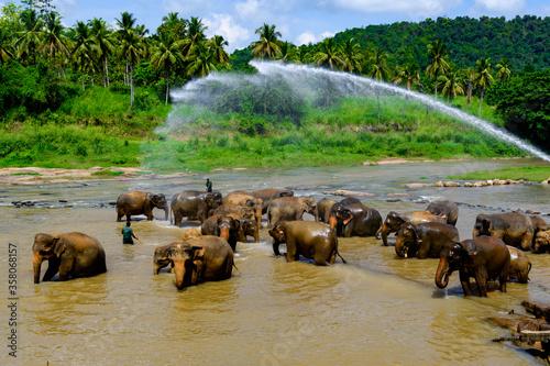 Flock of Asian elephant in Pinnawala Orphanage,  Wilpattu National Park, Sri Lanka