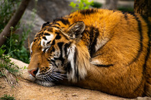 Portrait Of A Sleeping Siberia...