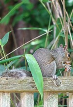 A Gray Squirrel Eating A Peanut On A Garden Fence