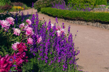 A Fragment Of A Garden With A Winding Path, A Green Hedge And A Beautiful Motley Flower Bed With Peonies And Larkspur In The Foreground. Ornamental Garden, Landscape Park At Sunny Summer Day.