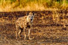 It's African Spot Hyena In Uganda
