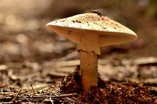 Baby Amanita Rubescens Mushroo...