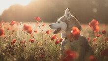 Isolated Siberian Husky Dog Pr...
