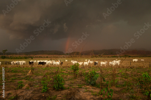 Canvas Print Cattle on farm pasture with cloudy storm rainbow in the background in the Amazon rainforest