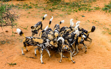 It's Wild Dogs Foght For A Piece Of Meat At The Lioness Portrait At The Naankuse Wildlife Sanctuary, Namibia, Africa