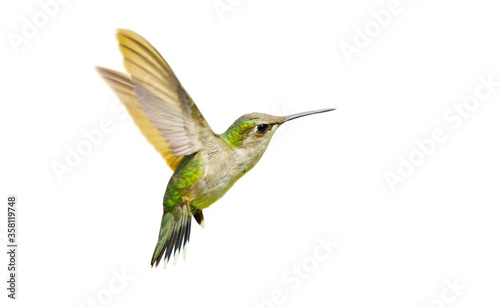 Photo Juvenile male ruby throated hummingbird, isolated.