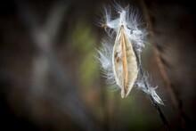 Close Up Shot Of A Milkweed Se...