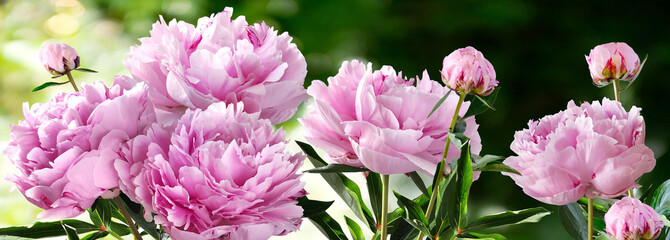 Fototapeta Peonie Bouquet of Nine Pink Peonies closeup on a blurred green background