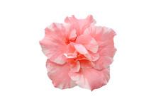 Pink Azalea Flower Isolated On...