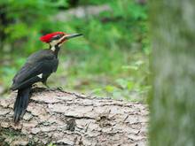 Closeup Of A Pileated Woodpeck...