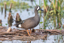 An Adult Drake Blue Winged Teal