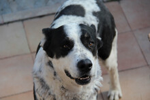 Perro Mastin Blanco Y Negro