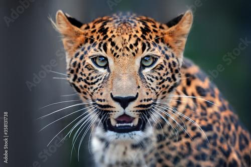 Fotografie, Tablou primo piano di ghepardo