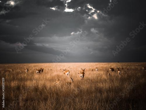 Antilope Gazelle Afrique Canvas Print