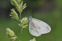 Beautiful White Butterfly On M...