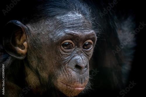 Portrait of a bonobo baby Canvas Print