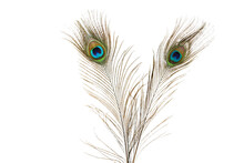 Peacock Feathers Isolated On White Background