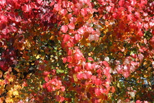 Vivid And Colorful Red Autumn Foliage Displayed In Early Fall