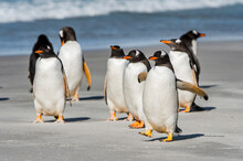 Group Of The Penguins Playing,...