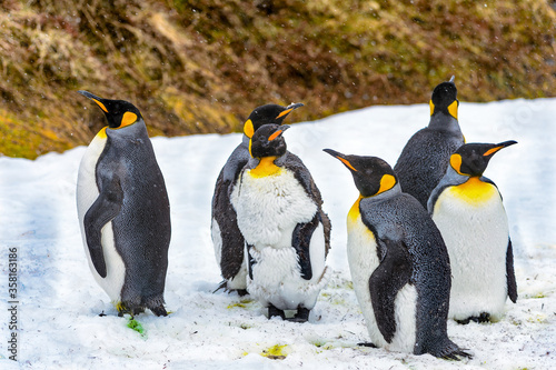 Photo It's King Penguins (Aptenodytes patagonicus), the second largest species of penguin