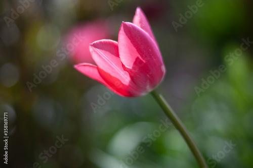Fototapety, obrazy: Flower in the garden.