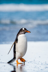 It's Little cute gentoo penguin portrait